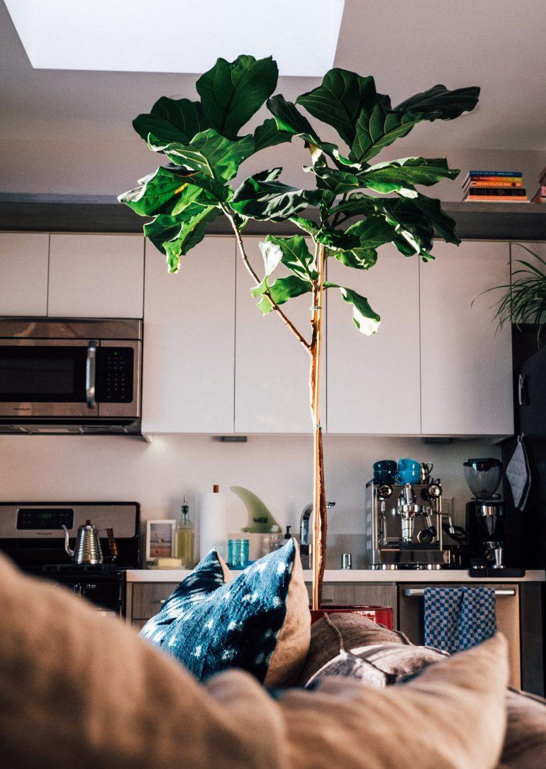 vijgenboom in huis