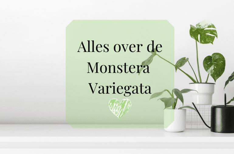 Monstera Variegata kopen, zeldzaam soorten