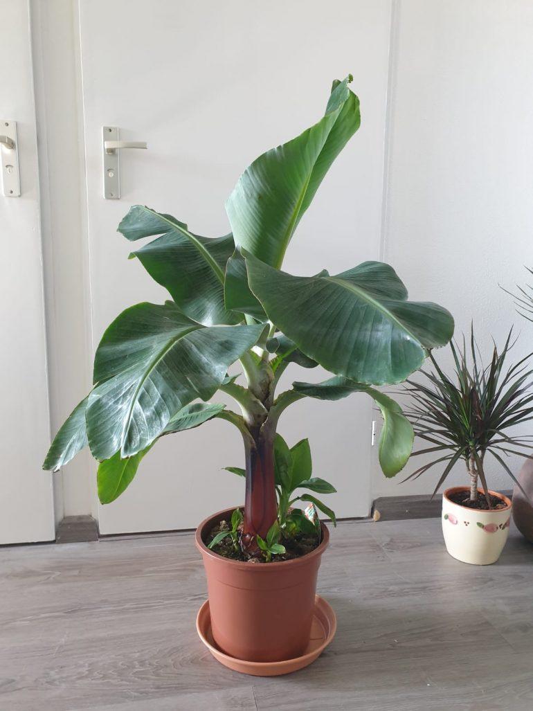 bananenplant stekken