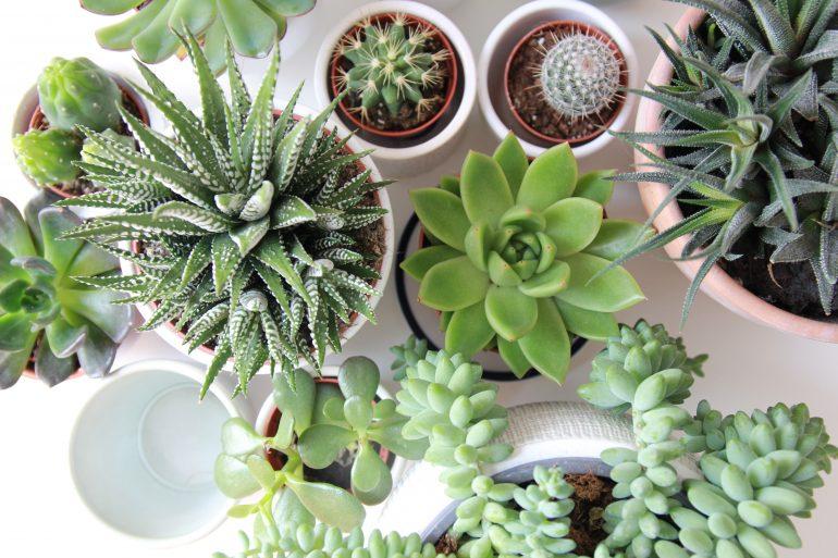 Wat zijn succulenten