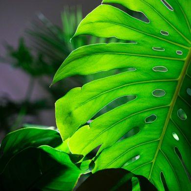 Monstera Deliciosa verzorgen water blad bruin