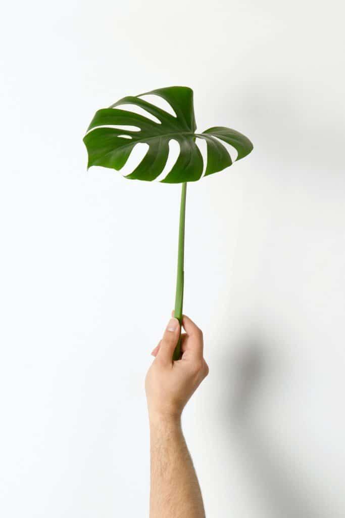 Monstera plant uitleg