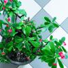 Lange-dagplanten en korte-dagplanten