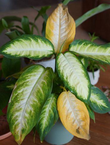 Gele bladeren kamerplant geel blad plant huis