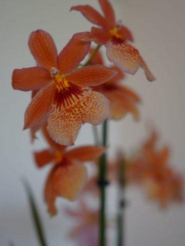 Handige regels voor de verzorging van orchideeën