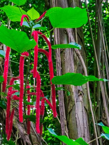 tropische kattestaart Acalypha hispida