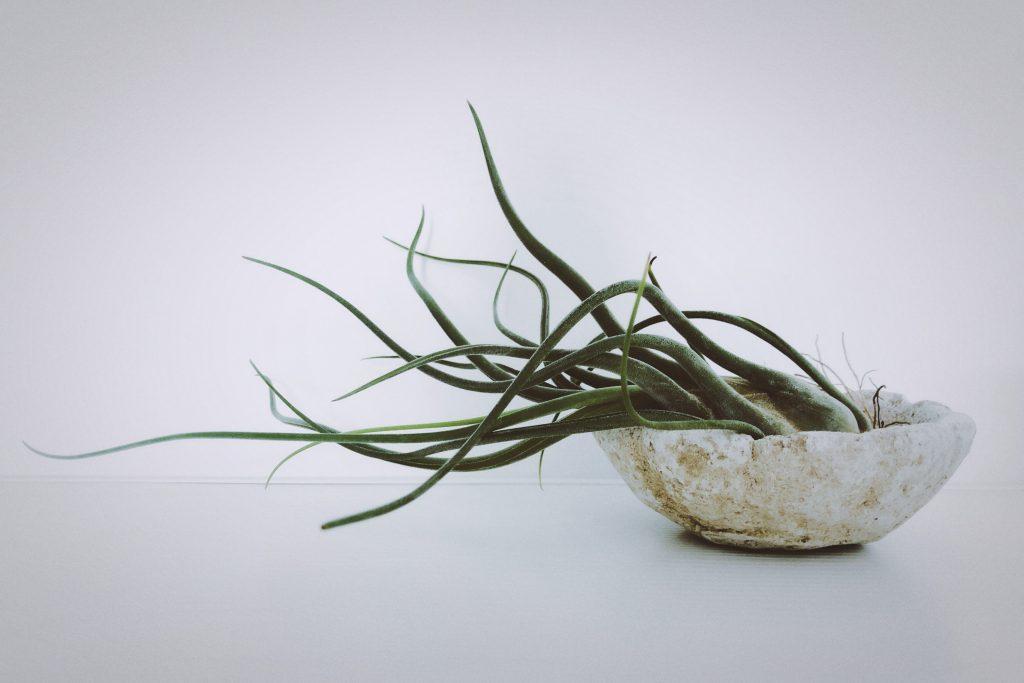 Tillandsia bulbosa