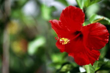Hibiscus met bladluizen_ Oorzaak en oplossing